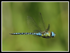 Southern Migrant Hawker Photo by March Heath Wildlife Photography